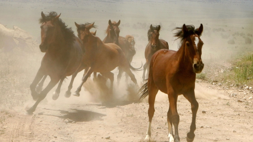 20160509162836-wild-west-horses-galloping